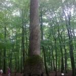 Forêt_de_Tronçais Chêne carré