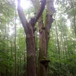 Forêt _de Tronçais